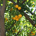 Hearst Castle Oranges