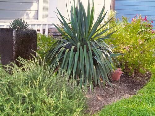Soft Leaf Yucca
