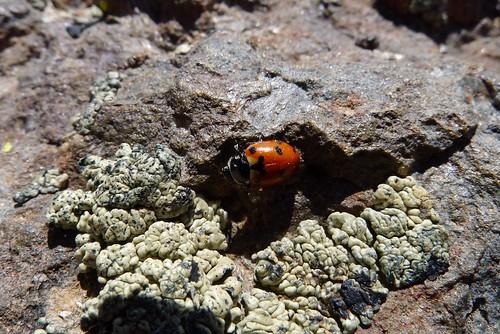 Ladybird and braaiins