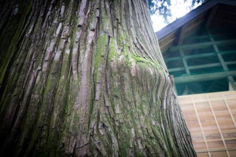 #31 Tarou Sugi of Omiya Shrine
