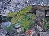 Wildflower on Ellingwood Ridge