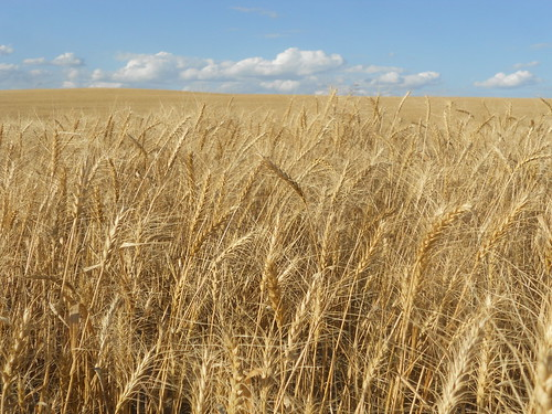 ND wheat
