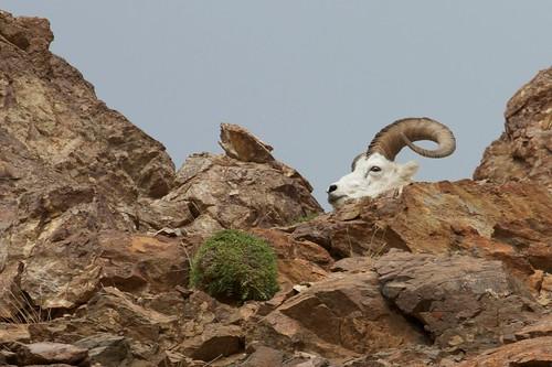 Dahl's Sheep