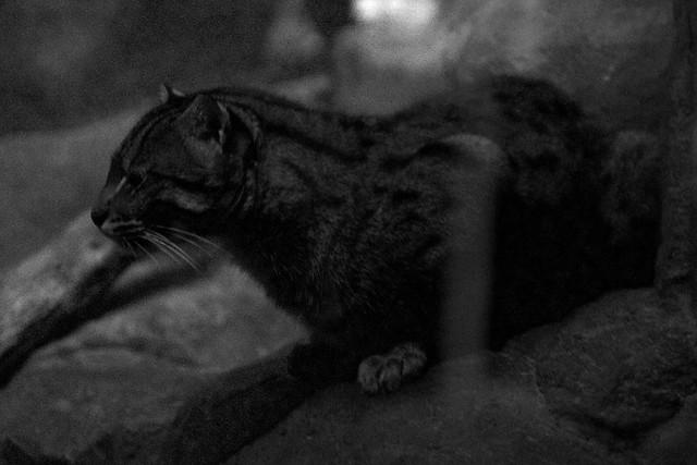 Watching Fishing Cat