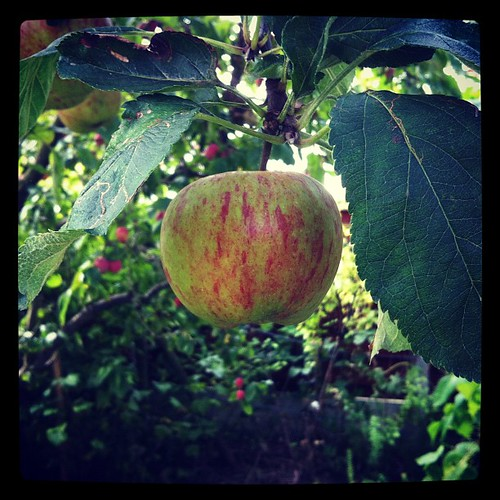 Parents' apple tree has been especially bountiful this year