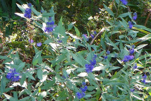 Caryopteris x clandonensis 'Longwood Blue'