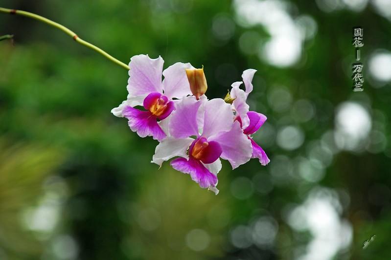 新加坡国花  - 万代兰
