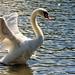 Mute Swan [explored #317]