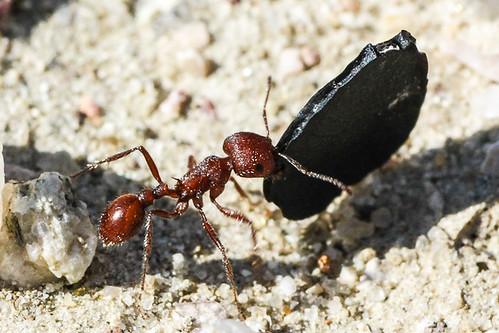 Western Harvester Ant (Pogonomyrmex occidentalis)