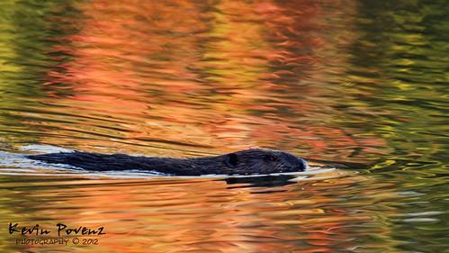 Floating Beaver