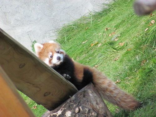 red panda - baby