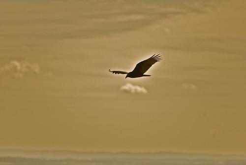 Royal Aura - Turkey Vulture
