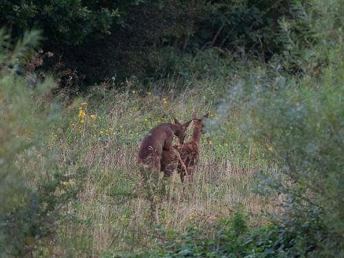 Roe deer-mating