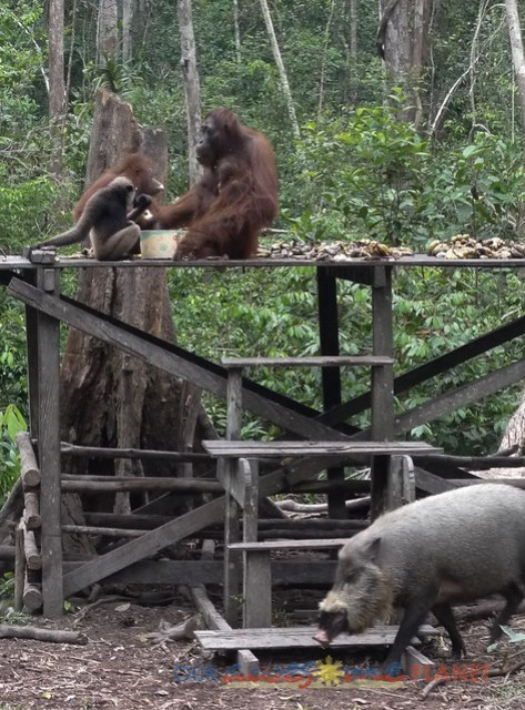 Orangutan World, Tanjung Puting Borneo Adventure-266.jpg