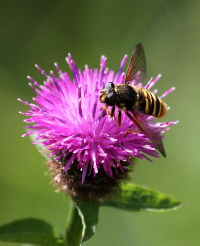 2012_08_14 CUL - Bog Hoverfly (Sericomyia silentis) 01