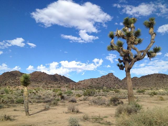 Joshua trees (Yucca brevifolia, Asparagaceae), Joshua Tree National Park