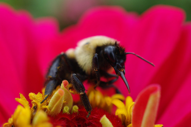 The tongue of the bumble bee