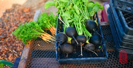 Black radishes and baby carrots in the morning.