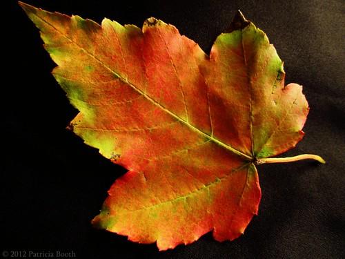 Day 270 Leaf Study by pixygiggles