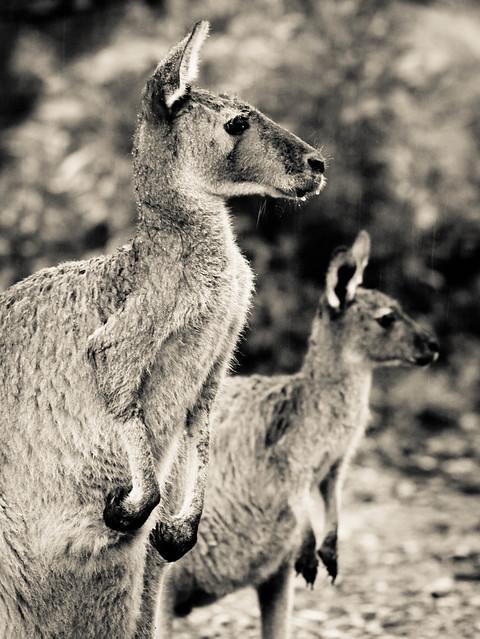 Kangaroo's Posing