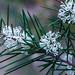 Aust.. bush flower