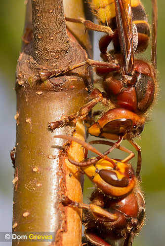 Hornets drinking birch sap