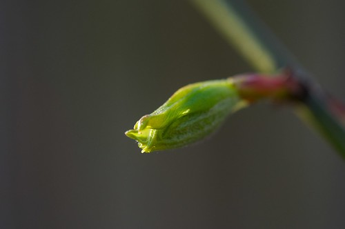 Budding Japanese Maple