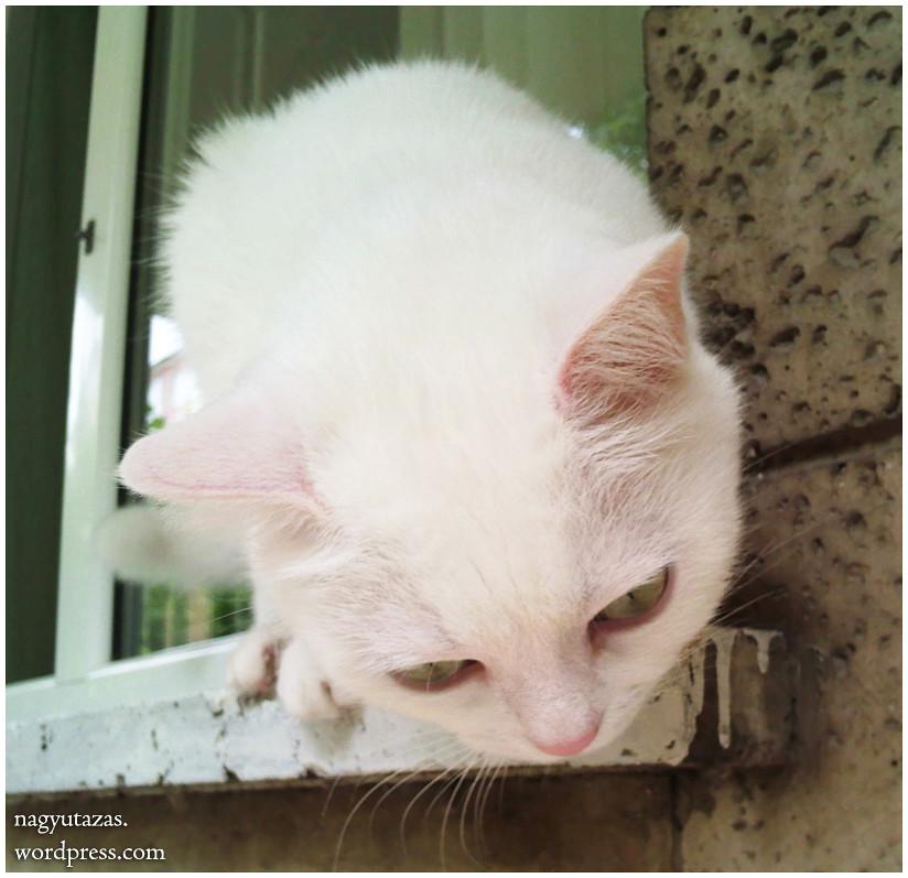Cuki török angóra macska