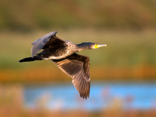 Cormorant-returning to roost