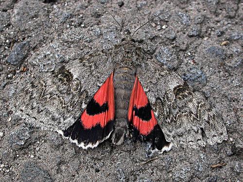 2452 Red Underwing Catocala nupta TLNRSept12
