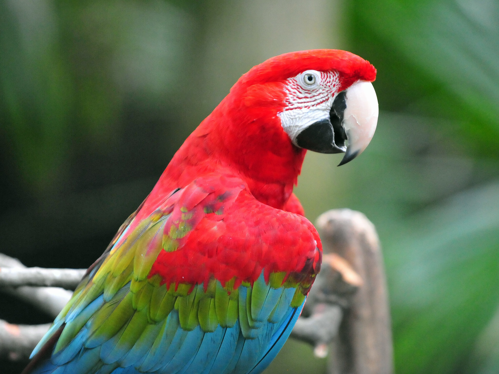 Green Macaw Red And Feathers