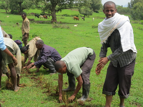 Farmers and IP members planting improved forage on grazing land in Limbichoch village