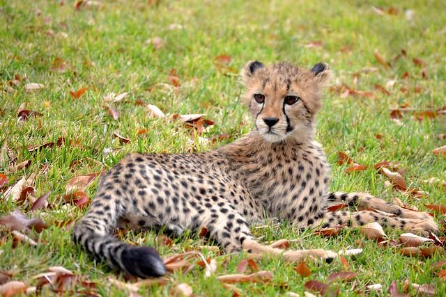 Cheetah in Autum