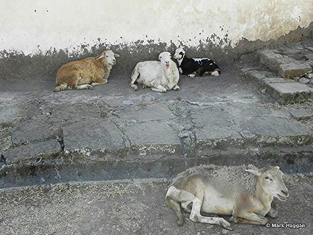 Some goats at the Menelik Palace, near Addis Ababa