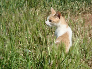 shawn, orange white,domestic cat