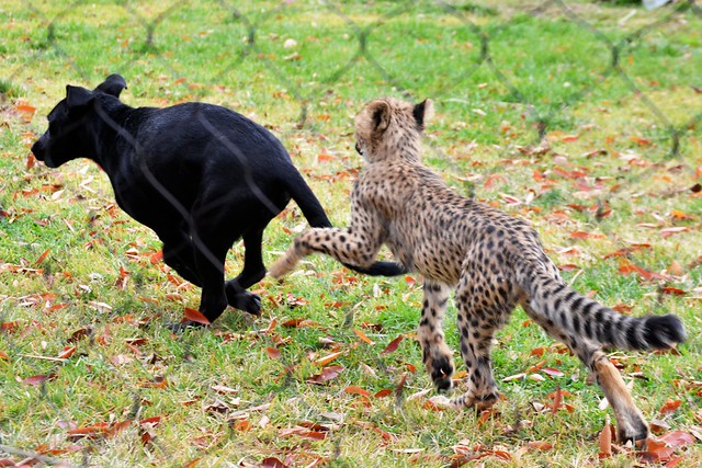 Savanna Chases Max