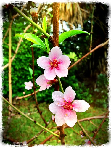 Peach Blossom by eyedrop fx