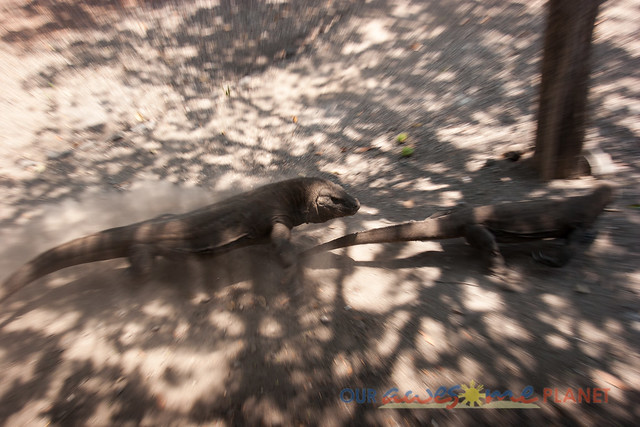 Komodo Dragon National Park-73.jpg