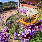 Fisheye Butterfly