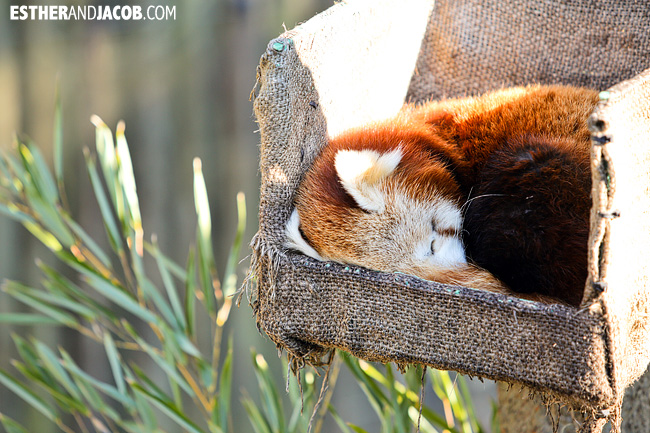 Red Panda Zoo Atlanta | Tourists at Home Atlanta Edition
