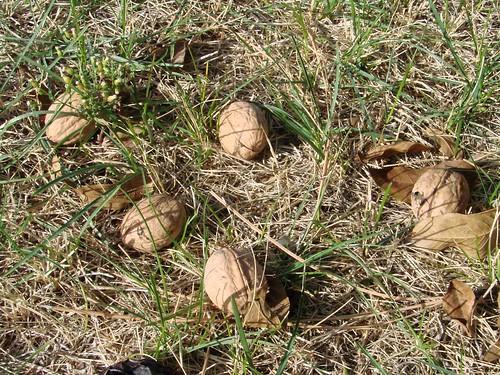 FallenWalnuts
