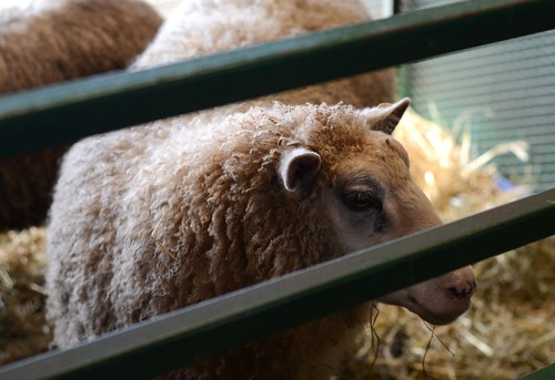 Oct20-Sheep5