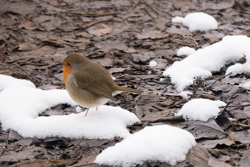 robin on ground with snow