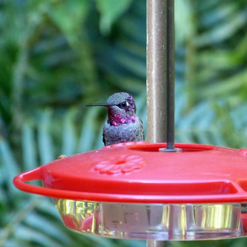 immature male anna's hummingbird