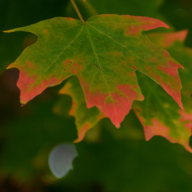 Red Tipped Leaf