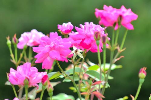 皇居東御苑のコウシンバラ (China rose)