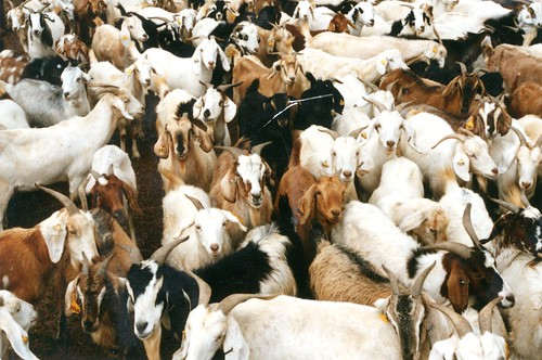 Goats awaiting sale at a market in Botswana