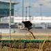 Heathrow Heron [explored#310]