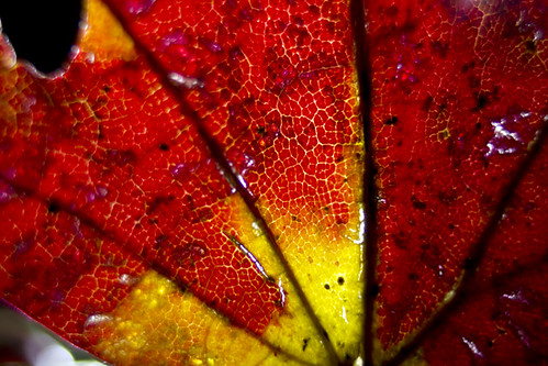 Maple: Red to Yellow