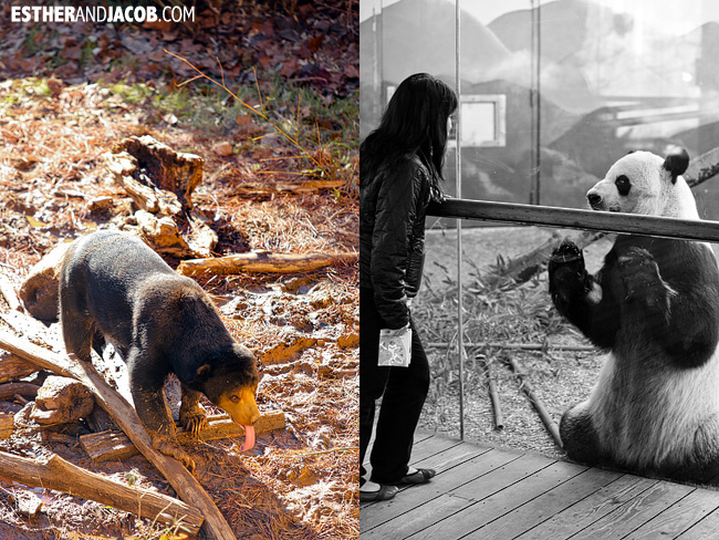 Sun Bear and Panda Zoo Atlanta | Tourists at Home Atlanta Edition